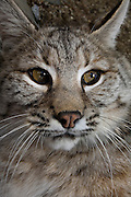 A trained bobcat (Lynx rufus). Captive.