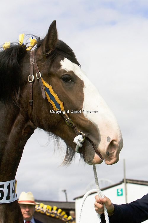Paul Bedford's Bay Colt <br /> Crossingtons Tobias<br /> Sire  Metheringham Upton Hamlet<br /> 1st  Filly, Colt or Gelding Yearling Class<br /> Reserve Shire Champion