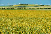 Sunflower crop<br /> Holland<br /> Manitoba<br /> Canada