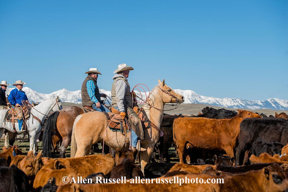 Branding, Hamm Ranch, Wilsall, MT, sorting cows from calves, Bridger Mountains, Randy Jackson, Garrett Hamm, Joe Sarrazin, Kurt Mraz