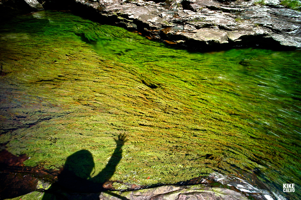 Shadow of a tourist waving her hand over the colorful endemic freshwater plants known as macaroni clavier. The plants create colorful natural tapestries at Cristales Selva in Cano Cristales river, commonly called the River of Five Colors or the Liquid Rainbow.