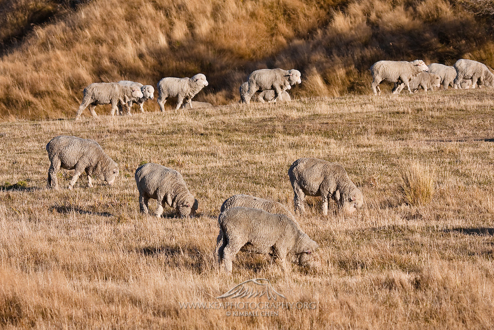 Merino Sheep, Central Otago, New Zealand