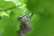 Henderson Island Reed Warbler, hendersoni acrocephalus, Henderson island (World Heritage site), Pitcairn Group<br />