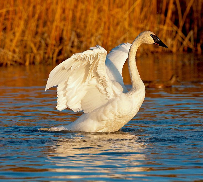 Alaska. Trumpeter Swan (Cygnus buccinator) wing flap; Southcentral Alaskan marsh.