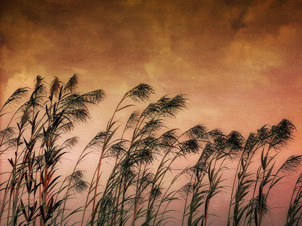 Silhouette of reeds in a textured sky with clouds