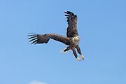 changing direction, White-tailed Eagle