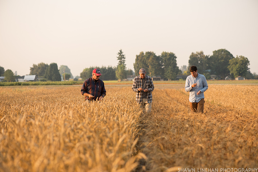 Dr. Stephen Jones evaluating wheat with Steve Lyons and graduate student Colin Curwen-McAdams in the WSU research fields in Mt. Vernon, WA.