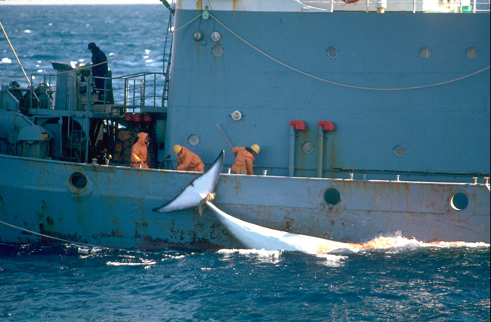 Harpooned minke whale, Japanese whaling, Southern Ocean.  Accession #: 0.89.003.037.04