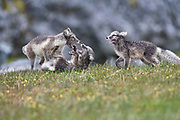 Three arctic foxes (Alopex lagopus) playing,  Alkehornet, Svalbard