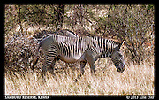 Grevy's Zebra<br /> Samburu Reserve, Kenya<br /> September 2012