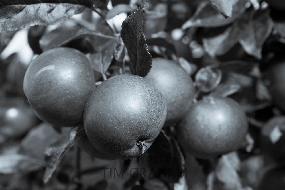 FINE ART PHOTOGRAPHY by Tim Graham<br /> FOOD - Apples Growing on an English Apple Tree