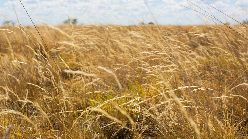 Long, dry Mitchell Grass on a plain of grassland in Queensland's 'channel country', Australia