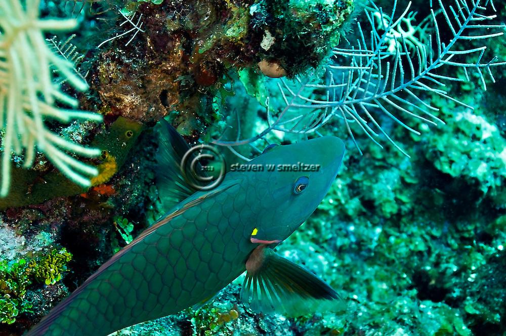 Spotlight Parrotfish Initial Phase, Sparisoma viride, (Bonnaterre, 1788), Grand Cayman
