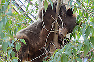 A bear in a tree near the Pitkin County Library in Aspen, Colorado.