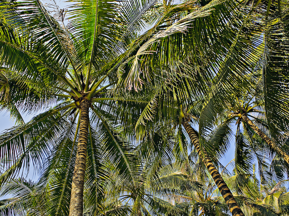 Palm trees looking upward into their spreading fronds on a sunny day.