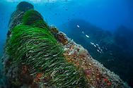 Seagrass-Posidonie (Posidonia oceanica) of Mediterranean sea.