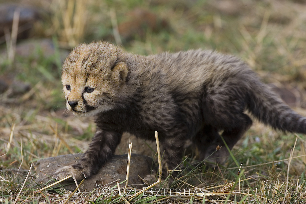Cheetah<br /> Acinonyx jubatus<br /> 16 day old cub clumsily walking through the grass<br /> Maasai Mara Reserve, Kenya