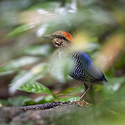 The blue pitta (Hydrornis cyaneus) is a species of bird in the family Pittidae found in Southeast Asia. Shown in the forest understory where it is most commonly found.