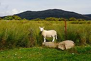 Sheep on Machrie Moor, Shetland, Scotland..photo by Alex Hewitt.alex.hewitt@gmail.com.07789871540