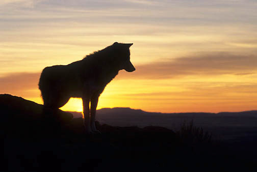 Gray Wolf, (Canis lupus) Adult silhouetted on ridge at sunset. Rocky mountains. Montana. Captive Animal.