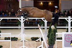 024, No Doubt van het Vlierhof<br /> BWP Hengsten keuring Koningshooikt 2015<br /> © Hippo Foto - Dirk Caremans<br /> 23/01/16
