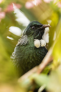The Tui is the largest bird in the honeyeater family. The name is the original Maori name. The English name, Parson Bird, is no longer used, but came about due to the white tuft resembling a parson.