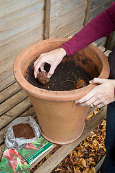 Planting lily bulbs in a terracotta pot. Lilium 'Scarlet Delight'