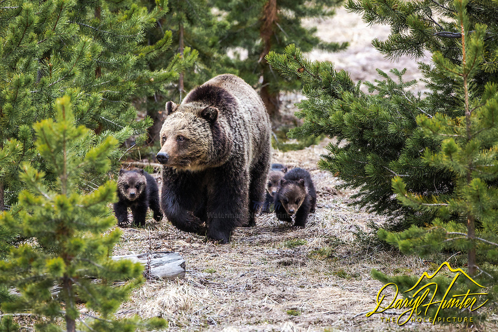 Here we come, we are grizzlies.  A grizzly bear family marching through the forest in Yellowstone National Park.