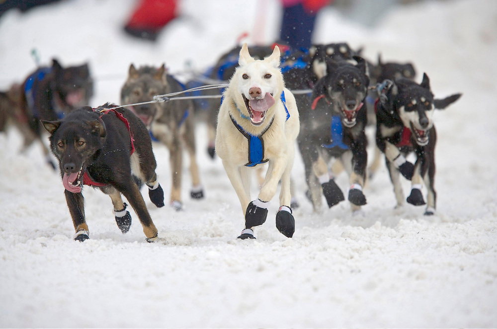 USA, Alaska, Anchorage, Sled dogs running through snow down 4th Avenue at start of 2005 Iditarod sled dog race