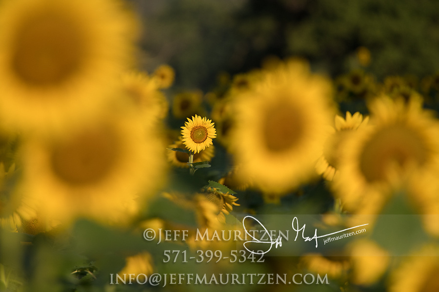 A field of sunflowers at Mckee-Beshers Wildlife Management Area in Montogomery County, Maryland.