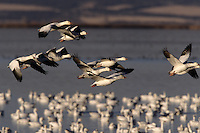 A gaggle of Snow geese (Chen caerulescens). Tule Lake National Wildlife Refuge, California.  Nov 2002.