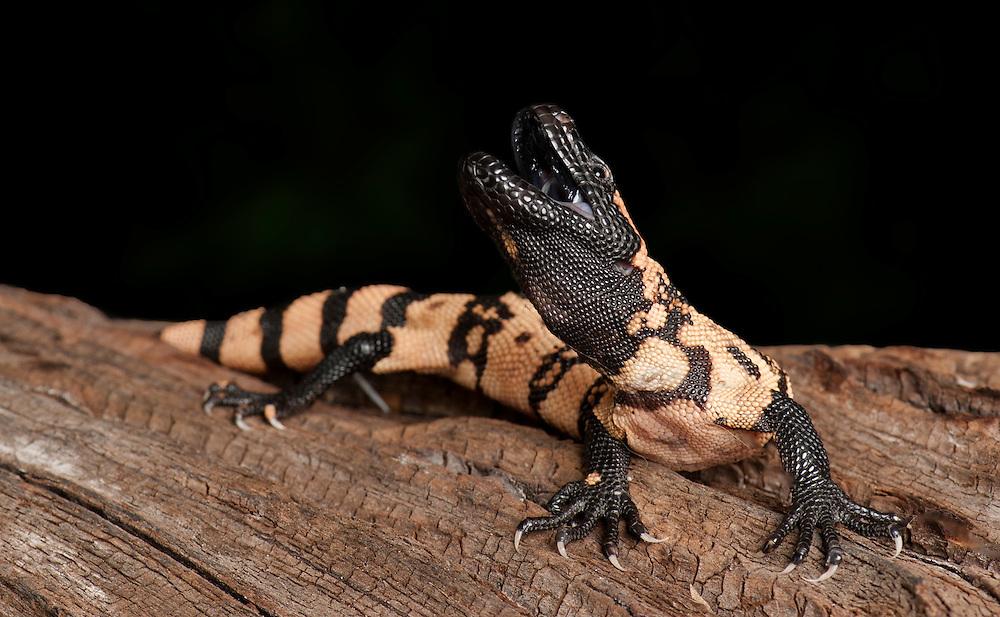 Gila Monster, ( Heloderma suspectum), captive