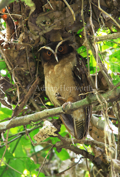 Crested Owl (Lophostrix cristata) roosting in rainforest. Corcovado National Park, Osa Peninsula, Costa Rica. <br />