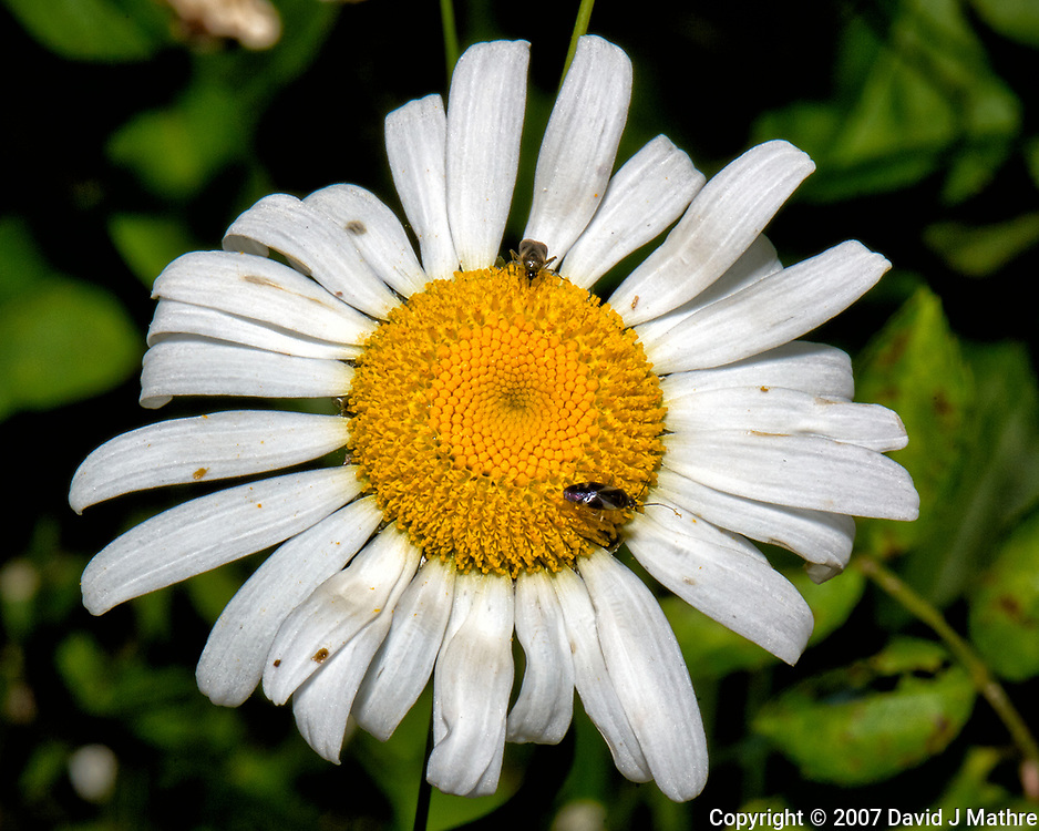 Two small bugs working a wild daisy flower. Late-spring backyard nature in New Jersey. Image taken with a Nikon D2xs camera and 105 mm f/2.8 VR macro lens  (ISO 100, 105 mm, f/32, 1/60 sec)