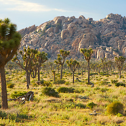 Joshua Trees in the Mojave Desert. Joshua Tree National Park, CA.