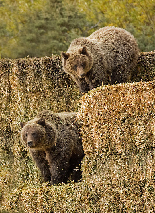 This grizzly bear family takes time away from foraging to enjoy a tussle in some hay bales in the Shoshone National Forest.