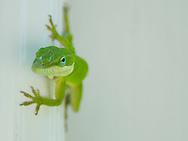 porch lizard green anolie