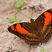 Mesentina Sister butterfly, Cristolina river Conservation Area, Amanzon Brazil