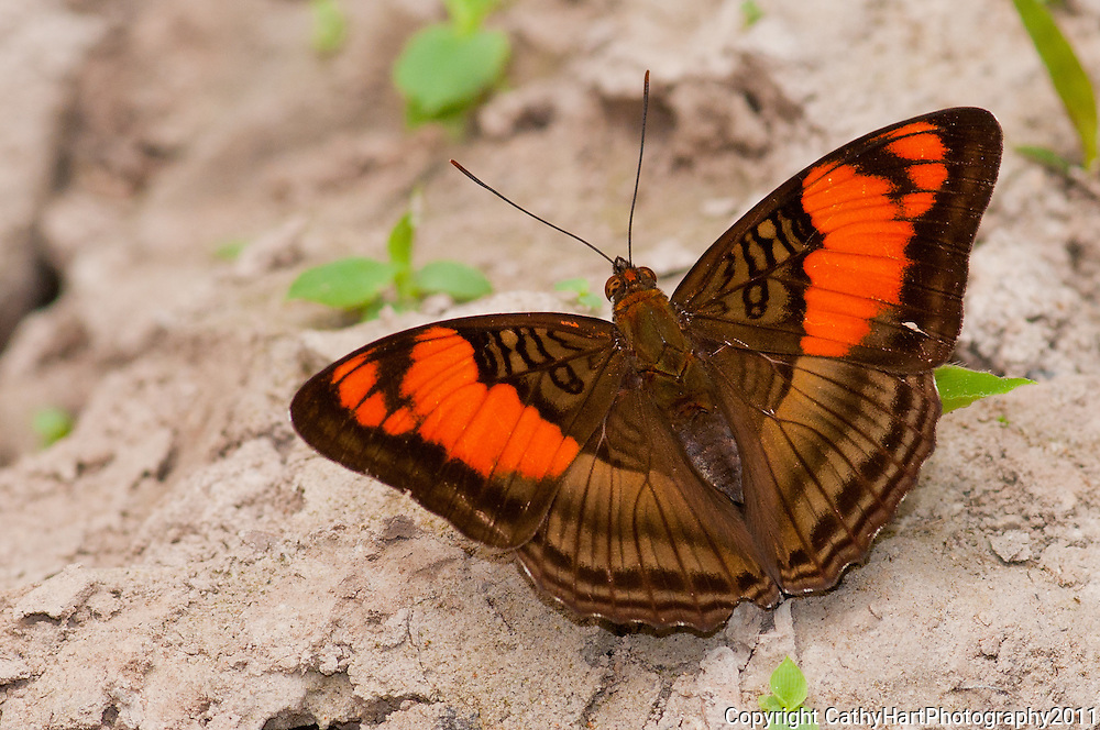 Mesentina Sister butterfly, Cristolina river Conservation Area, Amanzon Brazil