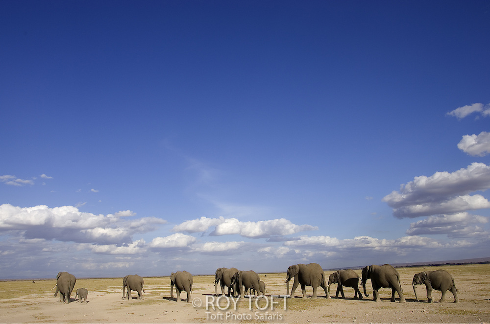 Group of African Elephants (Loxodonta africana) walking under clouded blue sky, Amboseli NP, Kenya, Africa