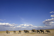 Group of African Elephants (Loxodonta africana) walking under clouded blue sky, Amboseli NP, Kenya, Africa