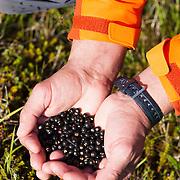 Örn Arngrímsson holding a full palm of fresh berries while hiking at Klængshóll travel farm, Skíðadalur, North Iceland.