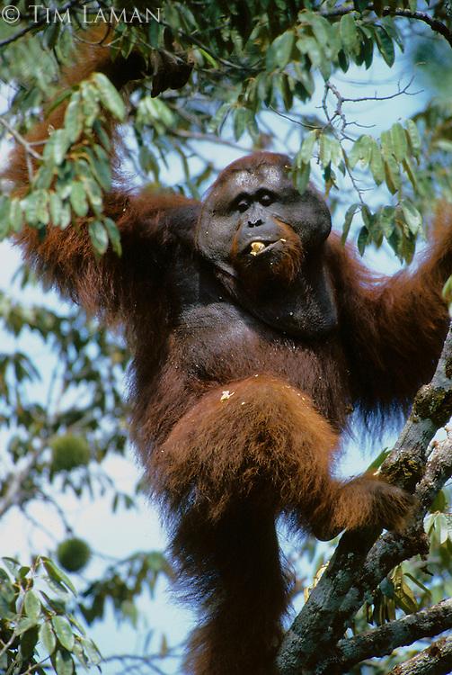 Adult male Bornean Orangutan (named Roman) feeding on wild durian fruits.
