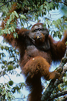 Adult male Bornean Orangutan (named Roman) feeding on wild durian fruits.