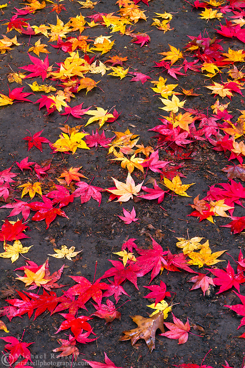 Fallen red and yellow leaves of a Japanese Maple in Williams Park, Langley, British Columbia, Canada