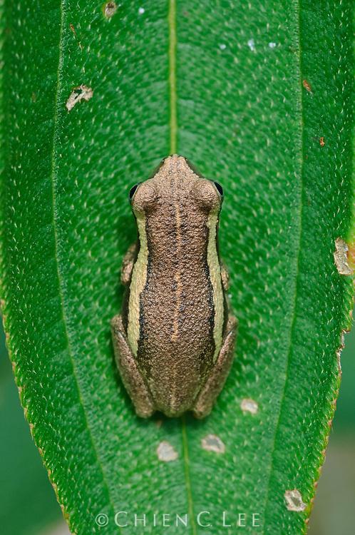 Tree Frog (Litoria rubella)