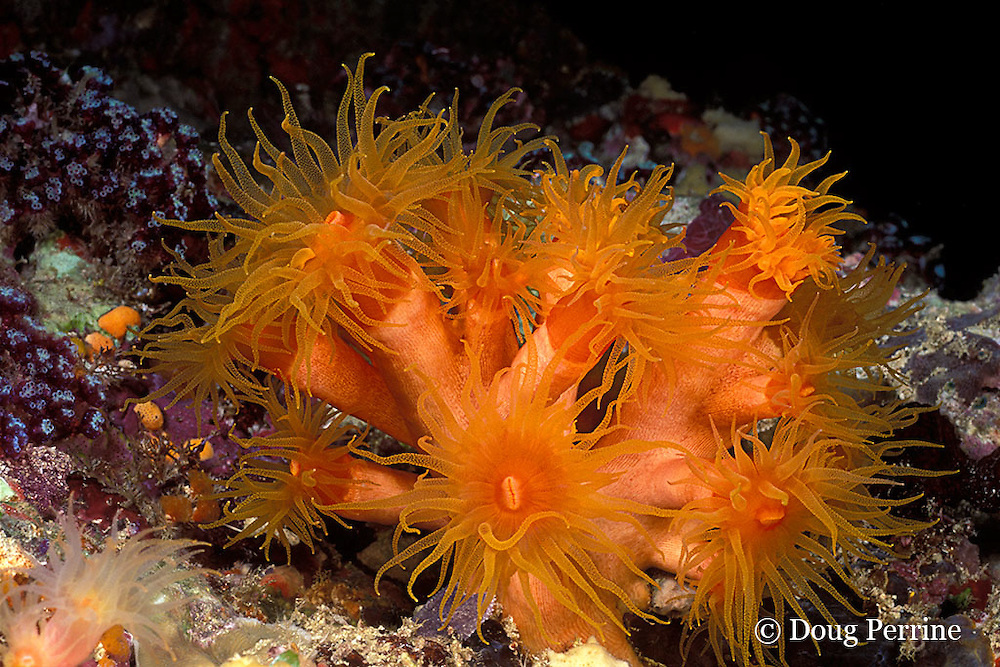 orange cup coral, Tubastrea sp., Maaya Thila; Ari Atoll, Maldives ( Indian Ocean )