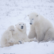 A pair of young polar bears (Ursus maritimus) playing with each other. Hudson Bay, Manitoba, Canada