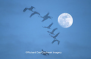 00882-010.11 Sandhill Cranes (Grus canadensis) flying in front of moon near Kearney   NE