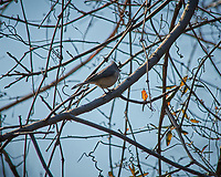 Tufted Titmouse. Image taken with a Nikon D3x camera and 80-400 mm VR lens (ISO 400, 400 mm, f/8, 1/2000 sec).